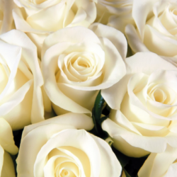 Photo of white roses